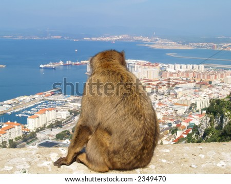 Barbary ape admiring the town of Gibraltar. - stock photo