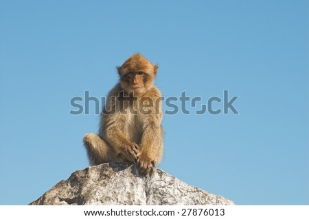 Barbary ape on the rock