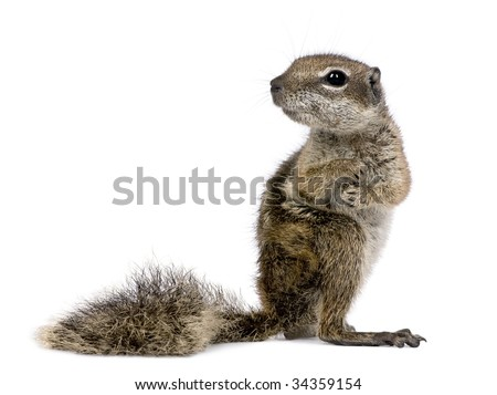 Barbary Ground Squirrel (Atlantoxerus getulus) in front of a white background