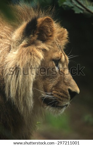 Barbary lion (Panthera leo leo), also known as the Atlas lion. Wildlife animal.  - stock photo