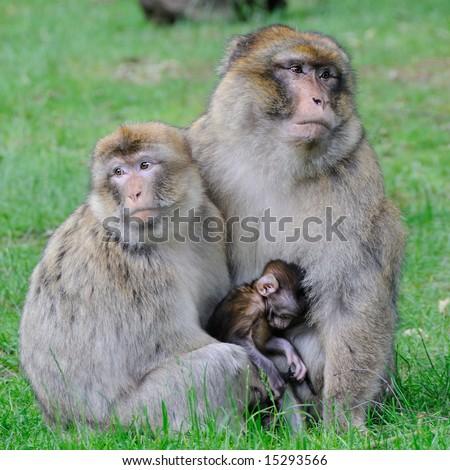 Barbary Macaque Monkey. - stock photo