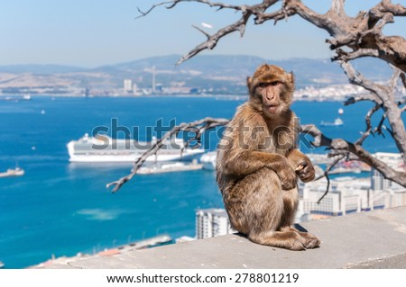 Barbary macaque monkey in Gibraltar on a wall - stock photo