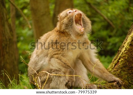 Barbary macaque monkey yawning in forest