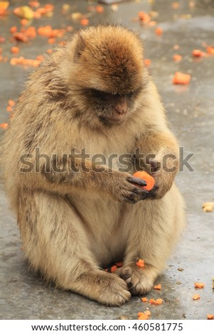 Barbary macaque preparing food to eat in Gibraltar