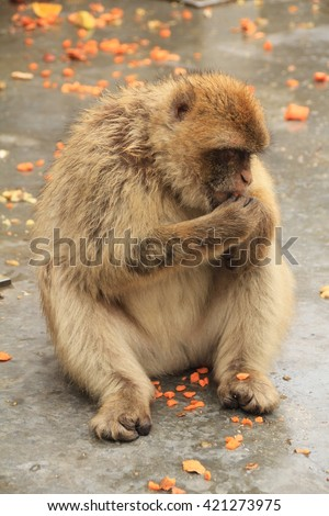 Barbary macaque sitting on tarmac eating food, isolated view