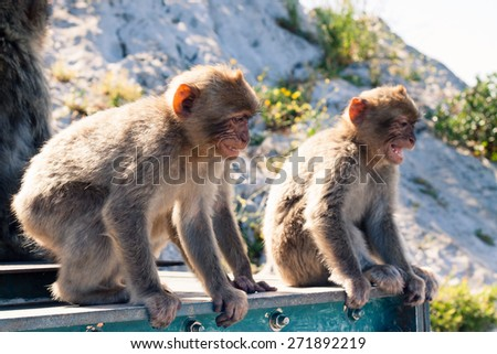 Barbary Macaques in Gibraltar. - stock photo