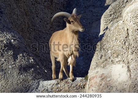 Barbary sheep.Ammotragus lervia  - stock photo