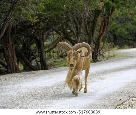 Barbary Sheep ram in motion