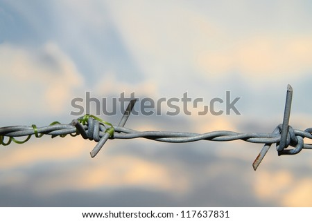 Barbed wire and Ivy plant. at sunset.