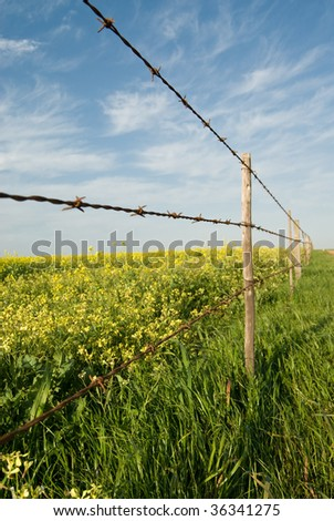 Barbed wire fence with blue sky and yellow canola fields behind the fence