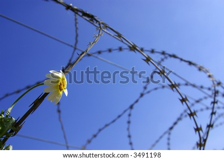 Barbed wire with a stuck single flower against blue sky. - stock photo