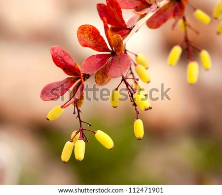 Barberry branch with berries - stock photo