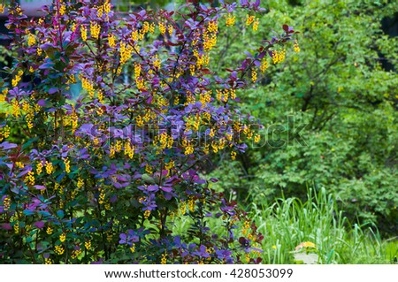 barberry shrub with purple leaves and white flowers on a green background - stock photo