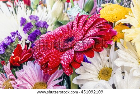 Barberton daisy, Gerbera jamesonii  is a member of the Gerbera genus. It is also known as the Transvaal daisy and as Barbertonse madeliefie in Afrikaans - stock photo