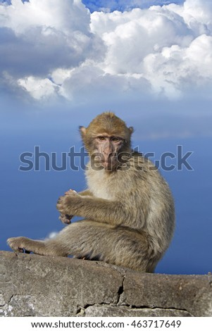 Barbery Monkey sitting on the rock of gibraltar with a blue cloudy sky background