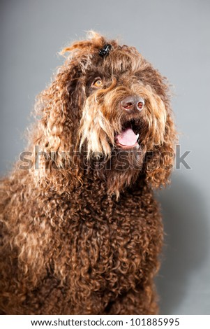 Barbet dog isolated on grey background. Brown French Water Dog. Studio shot.