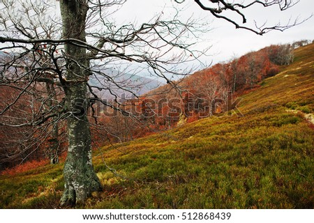 Bare beerch trees on autumn mountains, at Carpathian, Ukraine, Europe.