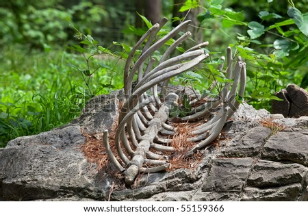 Bare bone remains of a dead animal. - stock photo