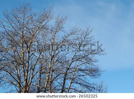 bare branches against blue sky; Calgary, Alberta - stock photo
