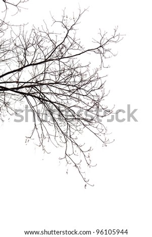Bare Branches of a tree on a white background in  the beginning of the spring - stock photo