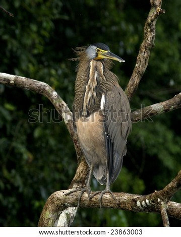 Bare-throated Tiger Heron Tortuguero, Costa Rica - stock photo
