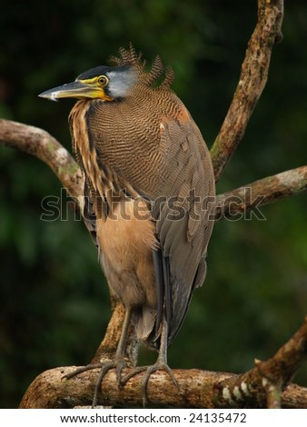 Bare-throated Tiger Heron, Tortuguero National Park, Costa Rica - stock photo