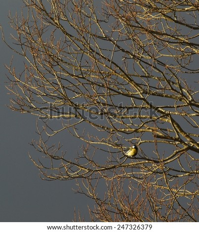 Bare tree with sitting tomtit under dark cloudy sky.       - stock photo