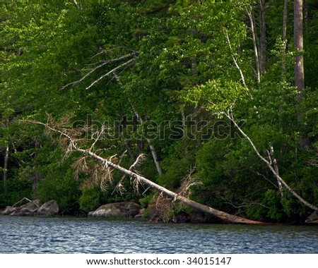 Bare trees leaning over a lake, against a background of green foliage. - stock photo