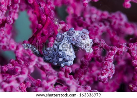 bargibanti pygmy seahorse hidding in the soft coral - stock photo