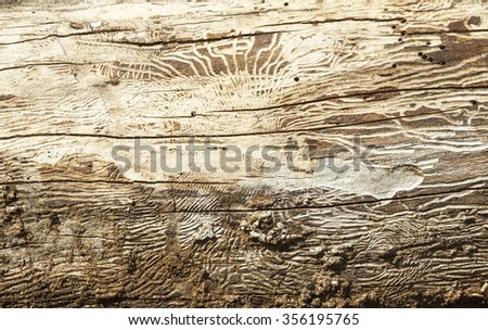 Bark beetle galleries engraving the sapwood of the tree trunk. Wooden texture. - stock photo