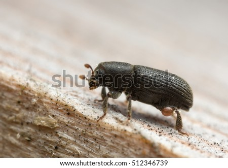 Bark beetle, Hylastes beetle on wood