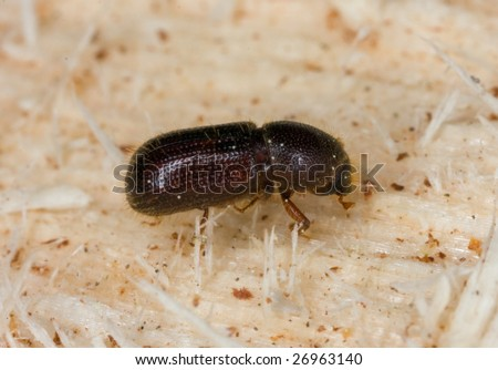 Bark beetle on wood