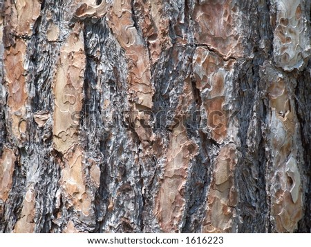 Bark from an old pine tree