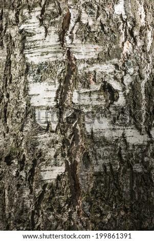 Bark of a birch - stock photo