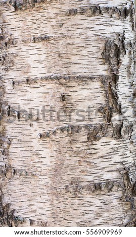 Bark of a birch tree in close-up, background, texture