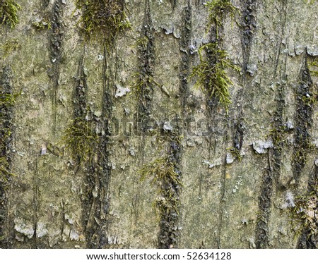 Bark of old cherry (Cerasus avium) with mosses