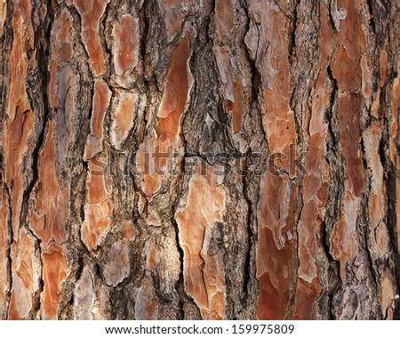 Bark of Pine Tree. - stock photo