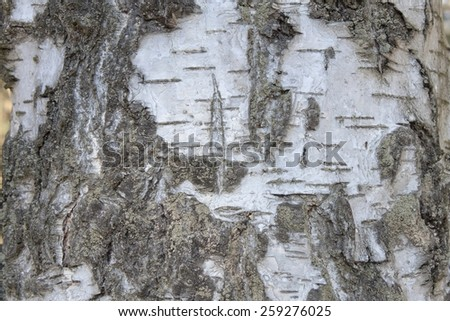 Bark of silver birch, detailed view - stock photo