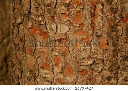 bark texture of a pine tree - stock photo