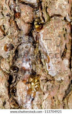 bark, tree gum with including insect