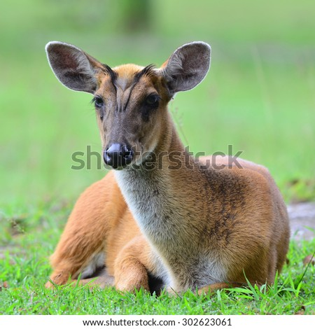 barking deer, wildlife preservation in Thailand  - stock photo
