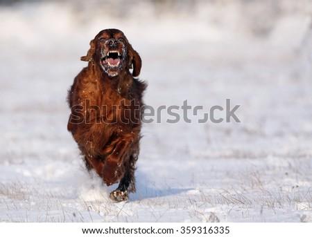 Barking dog running to the camera - stock photo