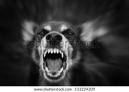 Barking enraged shepherd dog outdoors - stock photo