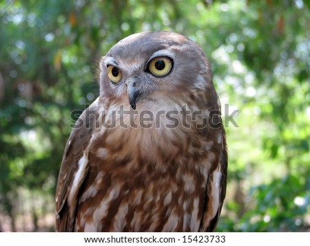 barking owl A visit to healesville sanctuary is an opportunity to meet our barking owls: skilled hunters whose call sounds like a barking dog, but who are also known for their unnerving night-time scream.