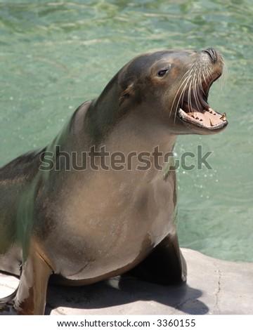 Barking Sea Lion - stock photo