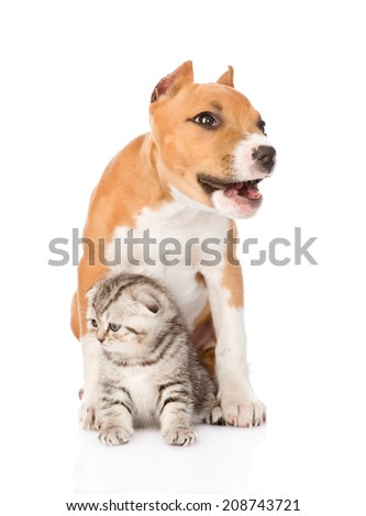 barking stafford puppy dog and small cat sitting together. isolated on white background - stock photo