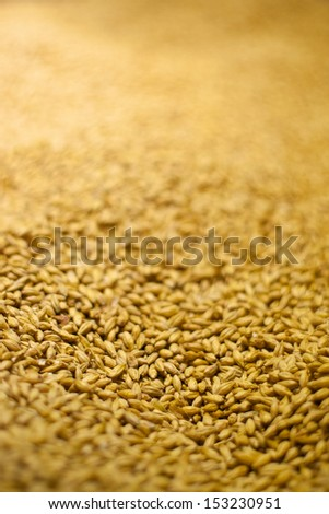 barley background with shallow depth of field, ingredient to make beer - stock photo