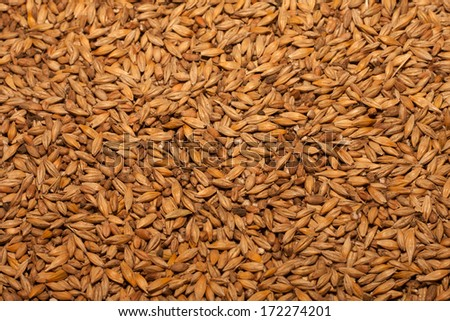 Barley beans. Grains of malt close-up. Barley on sacking background. Food and agriculture concept.