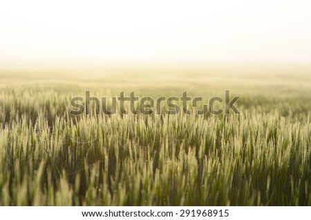 Barley during sunrise - stock photo