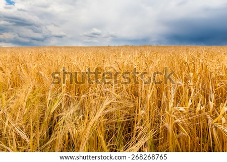 Barley field and a blue sky with clouds - stock photo